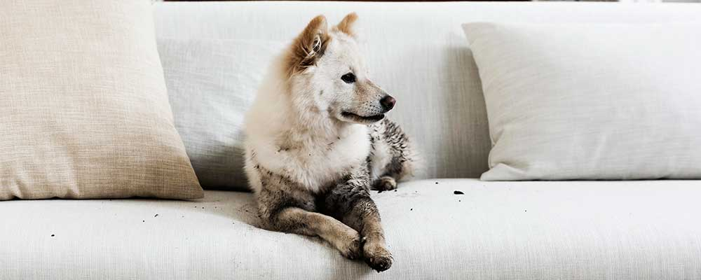 Muddy white Dog on a white Sofa